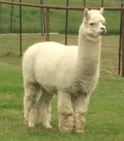 Alpaca For Sale - Alexanders' White Warrior at Corsicana Quality Alpacas