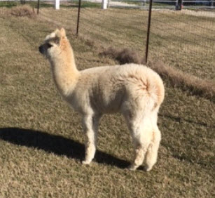 Alpaca For Sale - Topaz's Noah at Corsicana Quality Alpacas